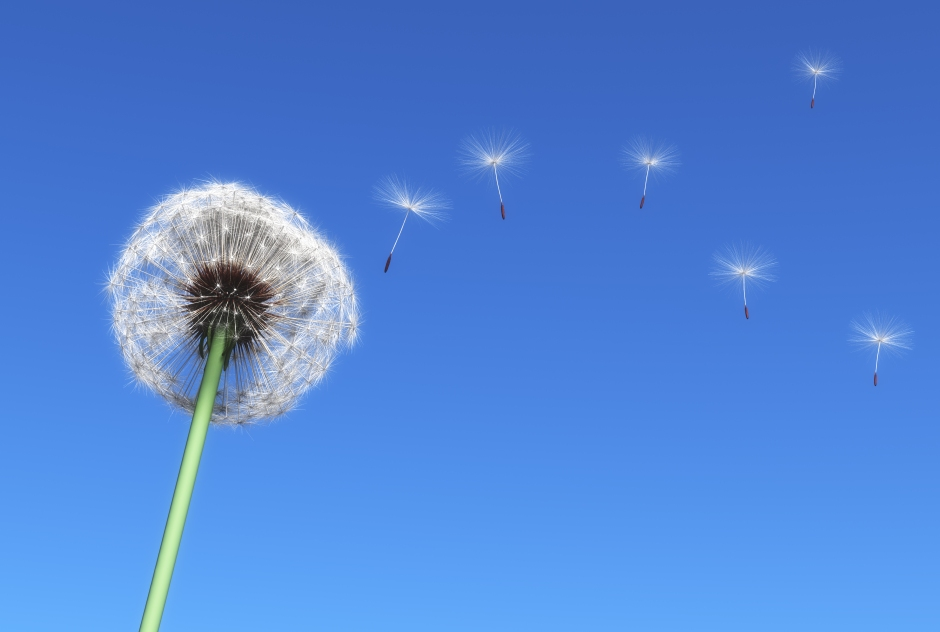 dandelion and some flying seeds carried by the wind on a blue sky as background