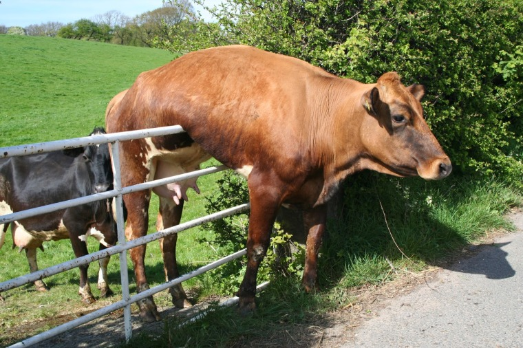 0bigstock-Cow-And-Gate--5928923